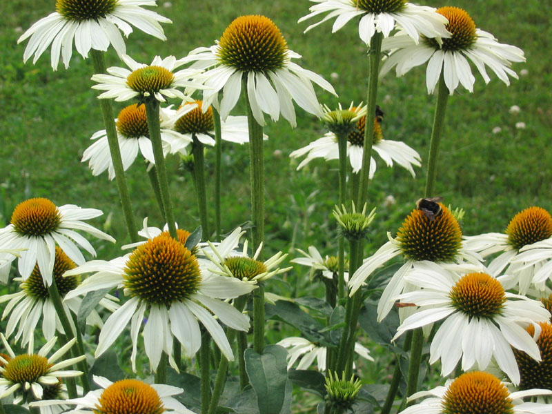 terrapin gardens perennials echinacea purpurea. Black Bedroom Furniture Sets. Home Design Ideas